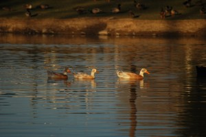 Pond at dusk with ducks